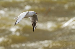 Black-headed Gull at the stormy lagoon Stock Photos