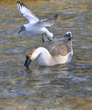 Black-headed gull and swan goose Stock Image