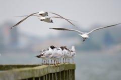Black-headed gull. A swarm of Black-headed gull on the baltic sea stock image