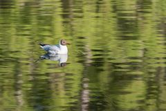 Black headed gull in Pond royalty free stock photography