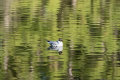 Black headed gull Swimming in a lake in scotland in all directions. stock photography
