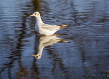 Black Headed Gull swimming in Thames. Close up of a black headed gull swimming in flooded Thames Stock Photos