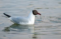 Black-headed gull on surface of winter river stock image