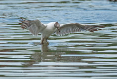 Black-headed gull takes off Stock Images