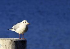 Black-headed Gull ter Stock Photo