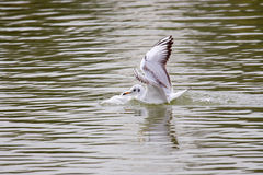 Black-Headed Gull Touching Down Stock Photo