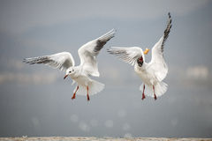 Black-headed gull Royalty Free Stock Image