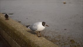 Black-headed gull and two turnstone stock video