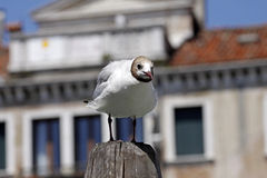 Black-headed gull in Venice, Italy Royalty Free Stock Photos