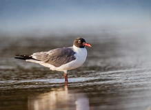 Black headed gull waits for mate in pond Stock Photography
