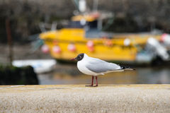 Black headed gull Royalty Free Stock Photos