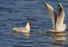 Black-headed Gull on water Royalty Free Stock Photos