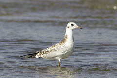 Black-headed Gull on water / Larus ridibundus / Chroicocephalus ridibundus Stock Photos