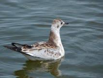 Black-headed gull in the waterBelarus stock photo