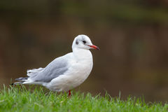 Black headed Gull in winter plumage Royalty Free Stock Image