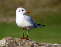 Black Headed Gull in Winter Plumage on rock Stock Photo