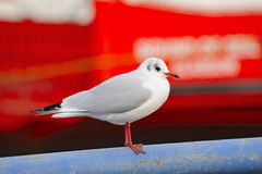 Black-headed gull, winter plumage Royalty Free Stock Photography