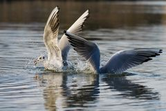 Black headed gull in winter plumage taking to flight from a lake royalty free stock photos