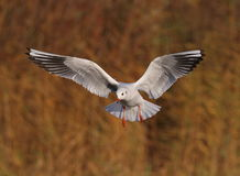 Black headed Gull Stock Images