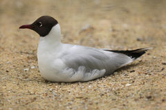 Black-headed gull (Chroicocephalus ridibundus). Stock Images