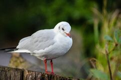 Black-headed gull (winter plumage) Royalty Free Stock Photo