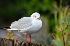 Black-headed gull (winter plumage) Royalty Free Stock Images