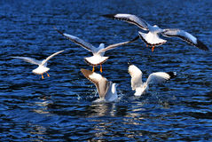 Black-headed gulls. A group black-headed gulls flying in the lake royalty free stock photos