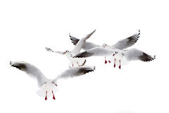 Black-Headed Gulls Stock Photos
