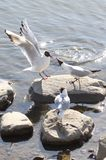 Black-headed Gulls Royalty Free Stock Images