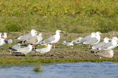 Black Headed Gulls Stock Photography