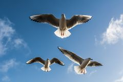 Black-headed gulls on blue sky background. Three black-headed gulls chroicocephalus ridibundus with spreaded wings flying against blue sky on sunny day Stock Photo