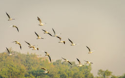 Black Headed Gulls. The Black Headed gulls in breading plumage flying in group stock images