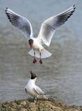 Black headed Gulls - Chroicocephalus ridibundus. Black-headed Gulls arguing on a wetland in Worcestershire, England, during the mating season Stock Image