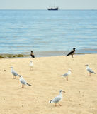 The black-headed gulls (Chroicocephalus ridibundus) on the beach Stock Images