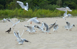 The black-headed gulls (Chroicocephalus ridibundus) on the beach Stock Image