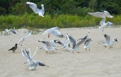 The black-headed gulls (Chroicocephalus ridibundus) on the beach Stock Image