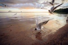 Black-headed gulls Chroicocephalus ridibundus royalty free stock image
