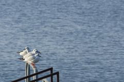Black-headed Gulls Chroicocephalus Ridibundus. A.k.a. Laughing Gull with its red bill and legs in winter plumage perches on pier railing in soft sunset light Royalty Free Stock Photo