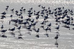 Black-headed Gulls Chroicocephalus ridibundus. In the wadden sea at the north sea island Juist in East Frisia, Germany, Europe Stock Image