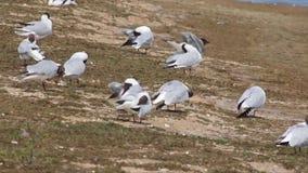 Black headed gulls preening stock footage