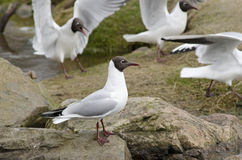 Black-headed gulls, Chroicocephalus ridibundus Stock Image