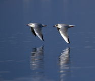 Black-headed gulls, chroicocephalus ridibundus Stock Images
