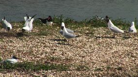 Black headed gulls defending nests and oyster catcher. Black headed gulls and oyster catcher defending territory stock video footage