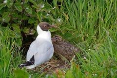 Black-headed gulls, Farne Islands Nature Reserve, England Stock Photography
