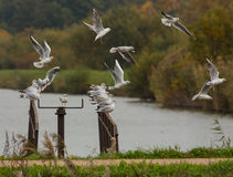 Black-headed Gulls in a flock Stock Images