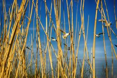 Black-headed gulls fly behind wall of yellow reed. Ponds and grassy marshes as nesting habitat of these gulls Royalty Free Stock Image