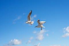 Black-headed gulls flying Stock Images