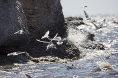 Black-headed gulls Flying over Water Stock Images