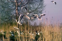 Black-headed gulls formed colony that has built nests. And lay eggs. Spring revival. Restless nesting bird life stock photography