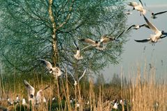 Black-headed gulls formed colony that has built nests. And lay eggs. Spring revival. Restless nesting bird life royalty free stock photos